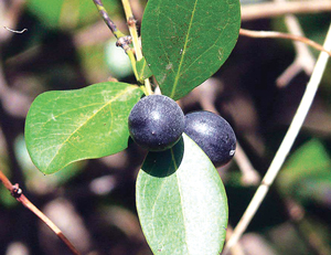 Read more about the article करवंद (Bengal currant)