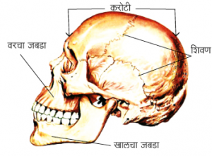 Read more about the article कवटी (Skull)