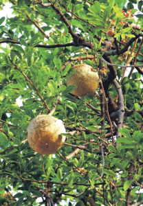 Read more about the article कवठ (Elephant apple; Wood apple)