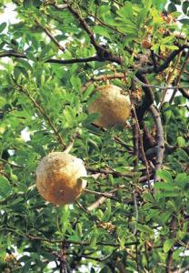 कवठ (Elephant apple; Wood apple)