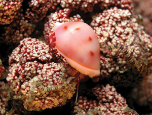 Read more about the article कवडी (Cowrie)