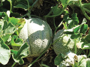 खरबूज (Musk melon)