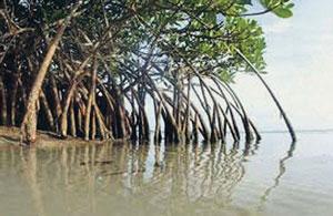खारफुटी (Mangrove)
