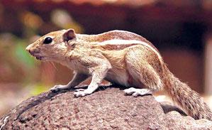 खार (Squirrel)