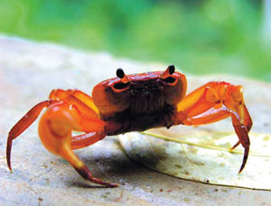 खेकडा (Crab)