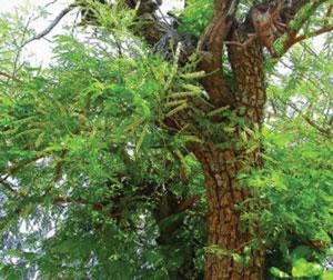 खैर (Catechu tree)