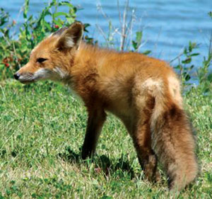 खोकड (Fox)