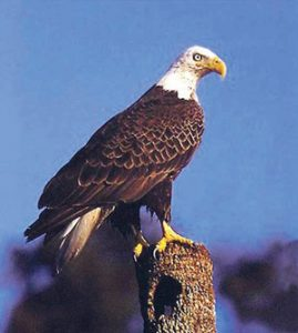 गरुड (Eagle)