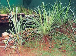 Read more about the article गवती चहा (Lemon grass)