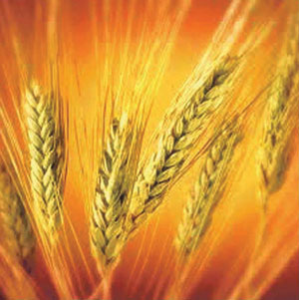 गहू (Wheat)
