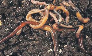 गांडूळ (Earthworm)