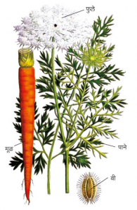 Read more about the article गाजर (Carrot)