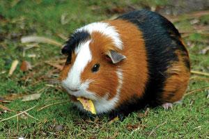 गिनी पिग (Guinea pig)