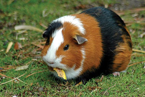 Read more about the article गिनी पिग (Guinea pig)
