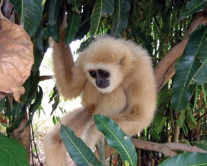 Read more about the article गिबन (Gibbon)