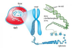 गुणसूत्रे (Chromosomes)