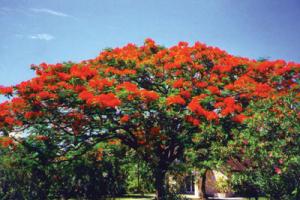 गुलमोहर (Peacock flower)