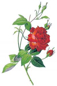 गुलाब (Rose)