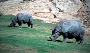 गेंडा (Rhinoceros)