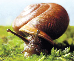 गोगलगाय (Snail)