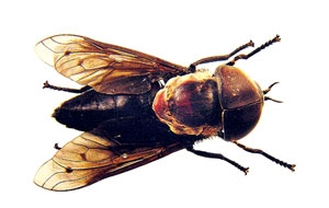 गोमाशी (Cow fly)