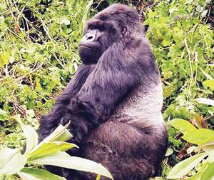 गोरिला (Gorilla)
