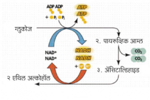 Read more about the article ग्लायकॉलिसिस (Glycolysis)
