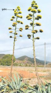 Read more about the article घायपात (Agave)