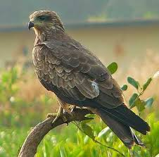 घार (Black kite)