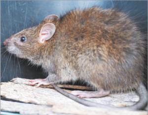 घूस (Greater bandicoot rat)