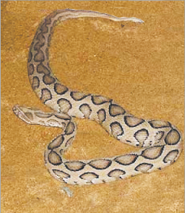 Read more about the article घोणस (Russell's viper)