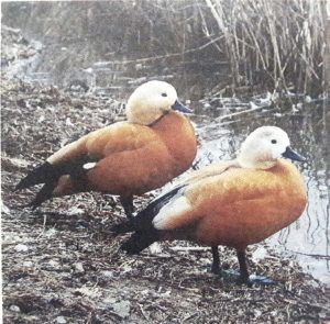 चक्रवाक (Ruddy shelduck)