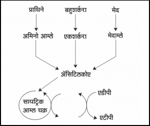 Read more about the article चयापचय (Metabolism)