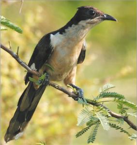 चातक (Pied crested cuckoo)