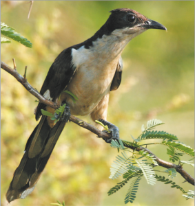 Read more about the article चातक (Pied crested cuckoo)