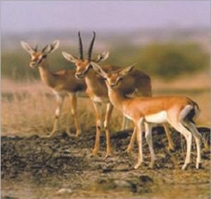 चिंकारा (Indian gazelle)