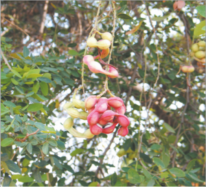 Read more about the article चिंच, विलायती (Sweet inga)