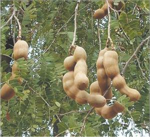 चिंच (Tamarind)