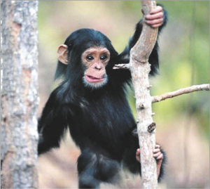Read more about the article चिंपँझी (Chimpanzee)