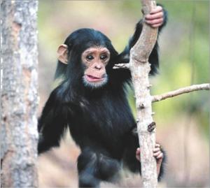 चिंपँझी (Chimpanzee)