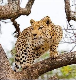 चित्ता (Cheetah)