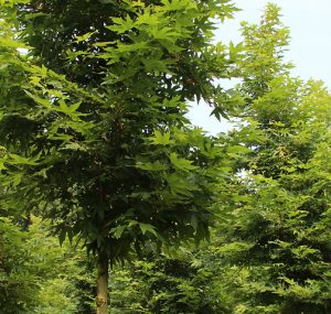 Read more about the article चिनार (Oriental Plane)