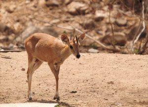 चौशिंगा (Four horned antelope)