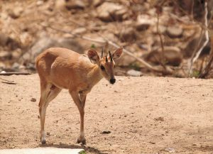 Read more about the article चौशिंगा (Four horned antelope)