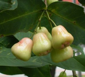 जांब (Rose apple)