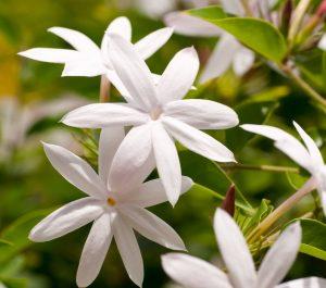 जास्मिन (Jasmine)