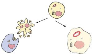 पेशी मृत्यू (Cell Death)