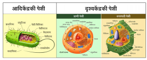Read more about the article पेशी (Cell)