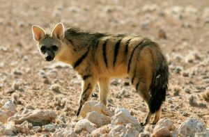 Read more about the article आर्डवुल्फ (Aardwolf)