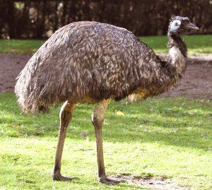 एमू (Emu)